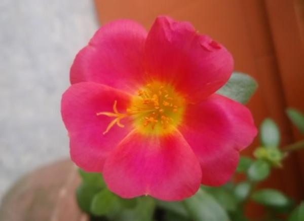 Японская роза