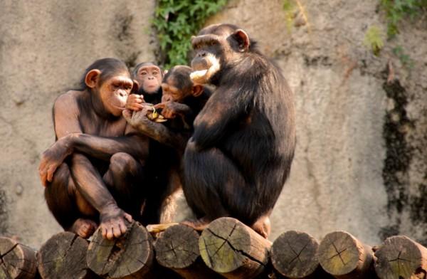 шимпанзе обезьяны