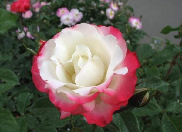 Японская роза Хамелеон